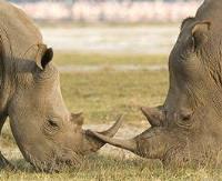 Носорожье сафари